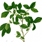 Ayurveda and Herbal  Plants Research Series - The  Ayurveda/Herbal  Plant Remedy for  Mercury, those are born in Jyestha Nakashtra Moon Sign or Ascendant.